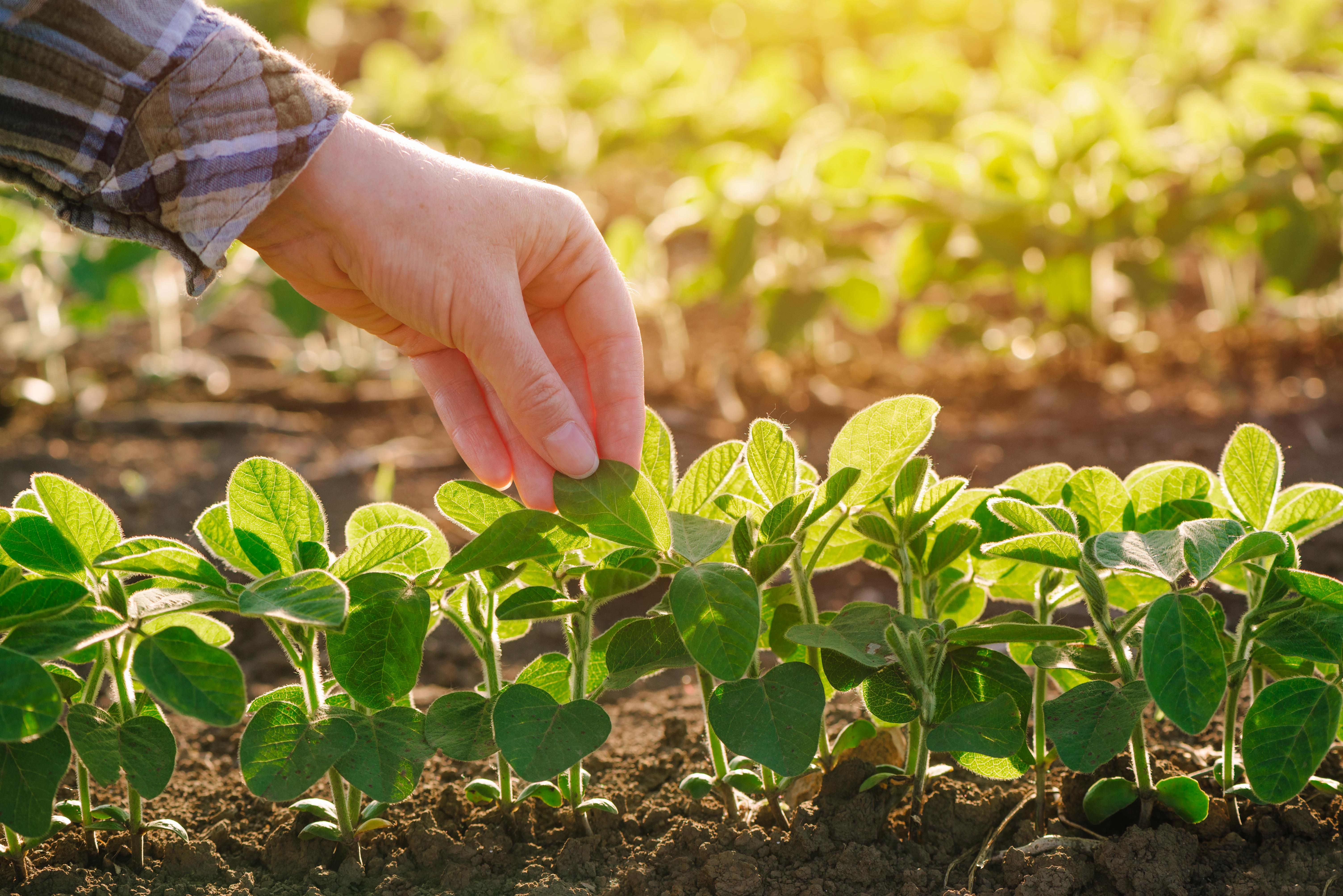 close-up-of-female-farmer-hand-examining-soybean-PCZDDL6